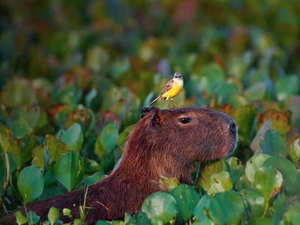 capybara-definitely-the-biggest-and-possibly-the-cutest-rodent--12-pictures-12