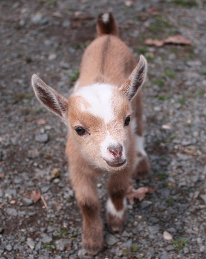 Image result for Cute goats