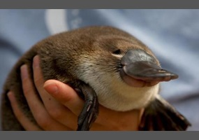 a00fff3e7351b98b0911e76d9fab-are-platypus-adorable