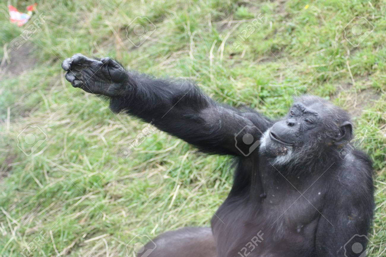 33333913-chimpanzee-stretching-out-its-arm-on-a-grass-field